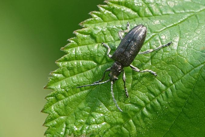 Chrysomelidae sp.  - Nicole Petitpierre