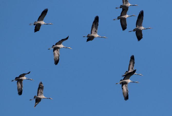 Common Crane  - Collectif Col du Markstein