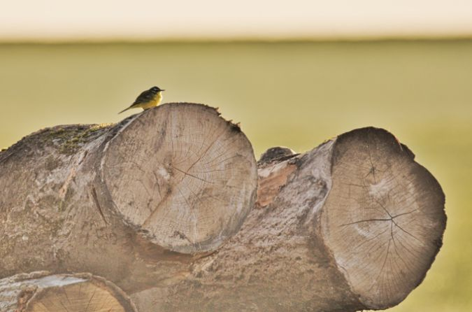 Western Yellow Wagtail  - Collectif Falaise Bloucard