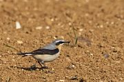 Northern Wheatear - Collectif Falaise Bloucardby Fabrice Cochon