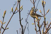 Tree Pipit - Collectif Falaise Bloucardby Fabrice Cochon