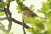 Willow Warbler - Collectif Falaise Bloucardby Fabrice Cochon