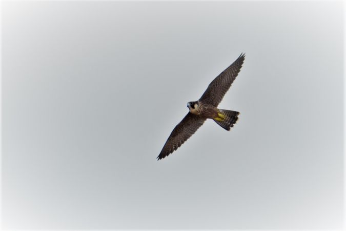Peregrine Falcon  - Collectif Brassoir