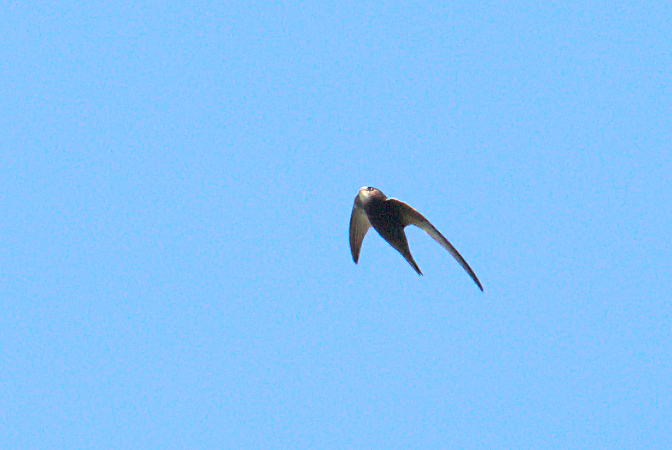 Common Swift  - Collectif Falaise Bloucard