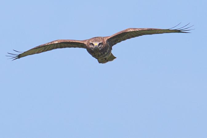 Common Buzzard  - Collectif Falaise Bloucard
