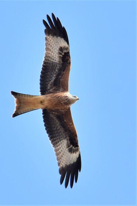 Red Kite  - Collectif Brassoir