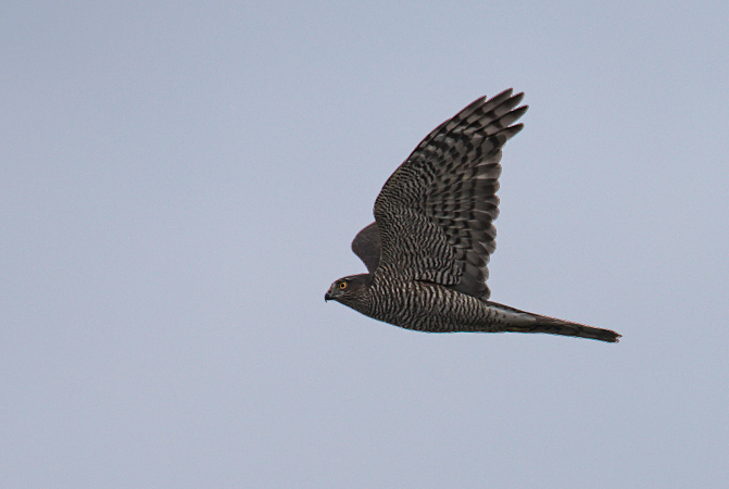 Eurasian Sparrowhawk  - Collectif Falaise Bloucard