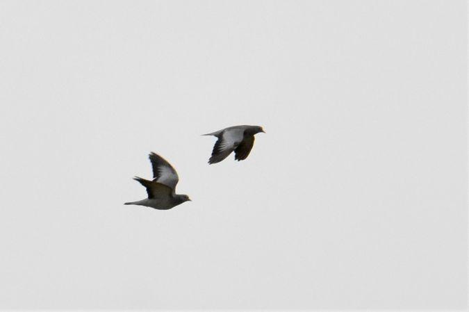 Stock Dove  - Collectif Brassoir