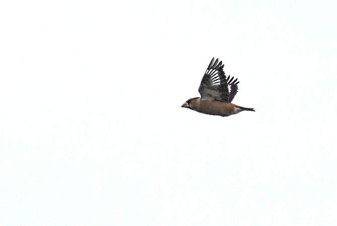 Hawfinch  - Collectif Falaise Bloucard