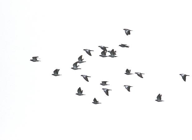 Stock Dove  - Collectif Falaise Bloucard