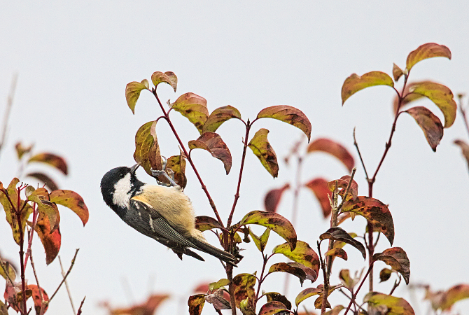 Coal Tit  - Collectif Falaise Bloucard