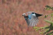 Eurasian Jay - Collectif Col du Markstein by Liliane Bories