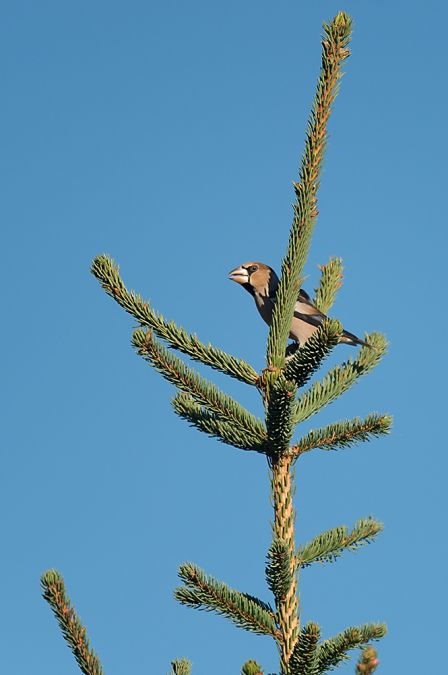 Hawfinch  - Collectif Col du Markstein