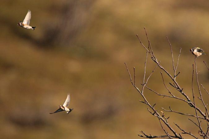 European Goldfinch  - Collectif Col du Markstein
