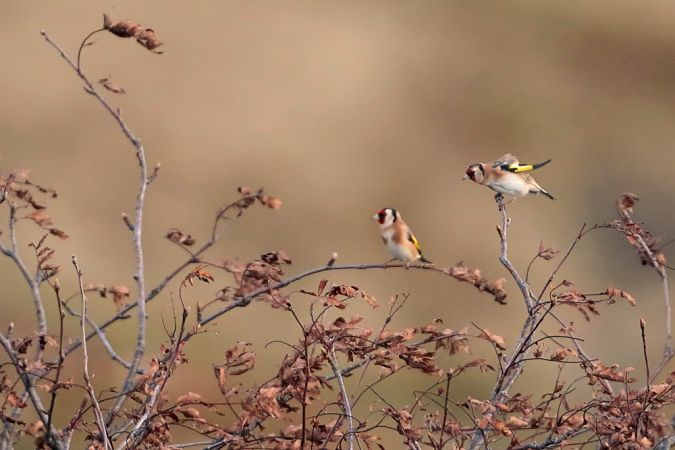 European Goldfinch  - Collectif Col du Markstein