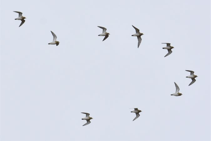 European Golden Plover  - Collectif Brassoir