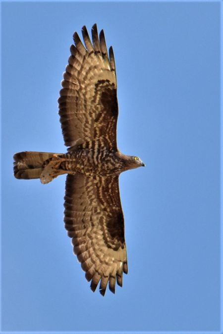 European Honey Buzzard  - Collectif Brassoir