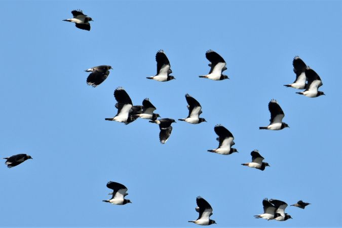 Northern Lapwing  - Collectif Brassoir