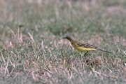 Western Yellow Wagtail - Collectif La Pringoterie by Fabrice Cochon