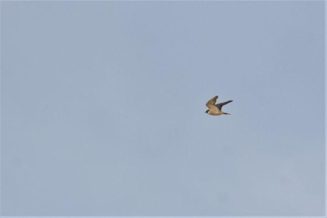 Peregrine Falcon  - Collectif Brassoir