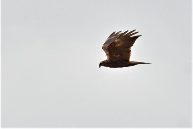 Western Marsh Harrier  - Collectif Brassoir