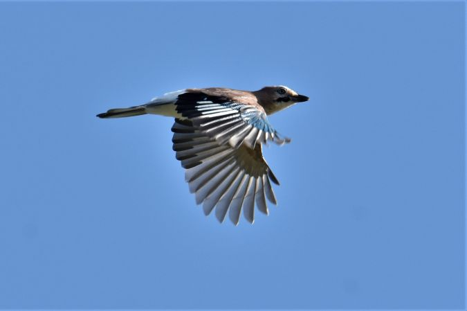 Eurasian Jay  - Collectif Brassoir