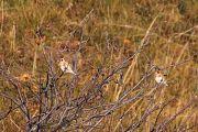 European Goldfinch - Collectif Col du Marksteinby Liliane Bories