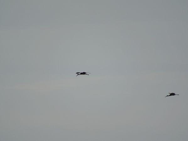 Cigogne noire  - Dufour Patrick