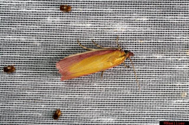Phycide incarnat  - Nicolas Sellier