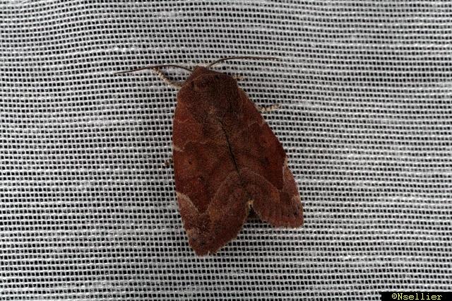 Cosmia affinis  - Nicolas Sellier