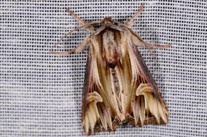 Actinotia polyodon  - Nicolas Sellier
