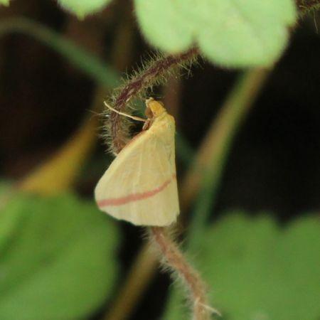 Rhodometra sacraria  - Daniel Quoilin