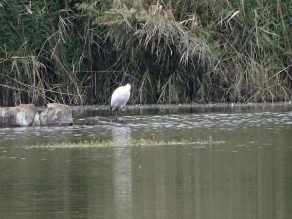 Ibis sacré  - Dufour Patrick