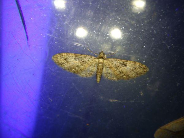 Eupithecia abbreviata  - Nicolas Sellier