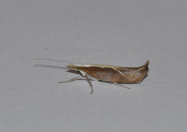 Ypsolopha dentella  - Fabrice Conort
