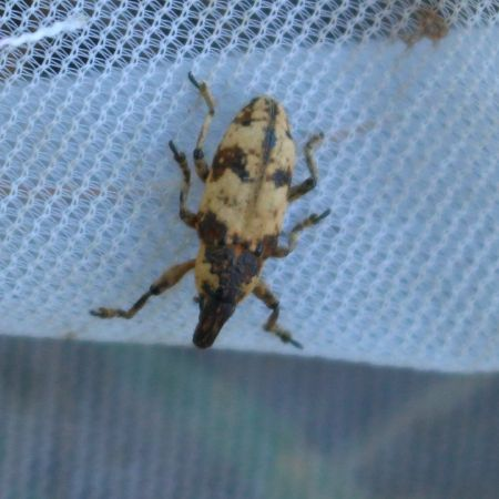Bothynoderes affinis  - Daniel Quoilin