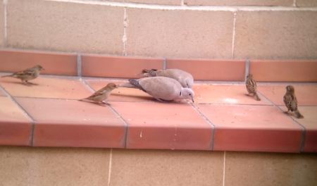House Sparrow  - Abel Julien