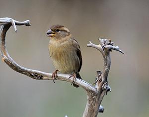 House Sparrow  - Jaume Ventura Nualart