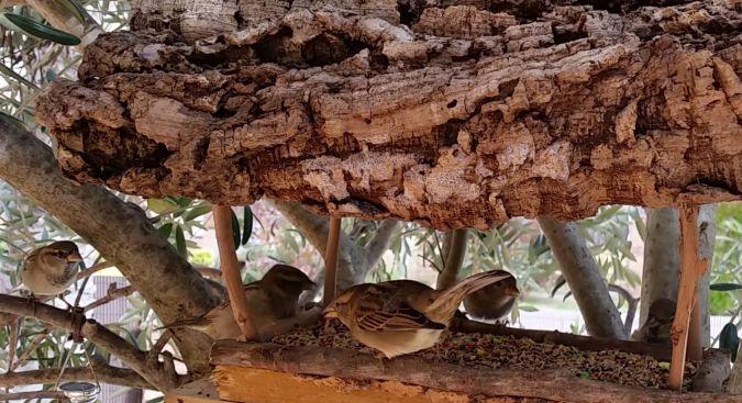 House Sparrow  - Carles Pineda