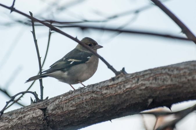 Common Chaffinch  - Andreu Iglesias