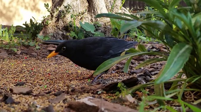 Common Blackbird  - Carles Pineda