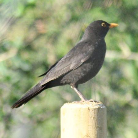 Common Blackbird  - J Gabriel Gallart Cajo