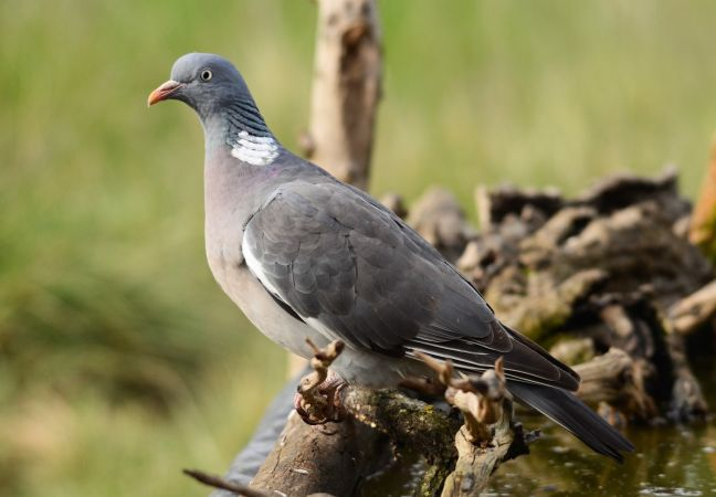 Common Wood Pigeon  - Jaume Ventura Nualart
