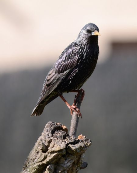 Spotless / Common Starling  - Jaume Ventura Nualart