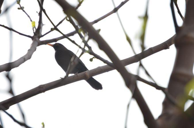 Common Blackbird  - Benjamí Company
