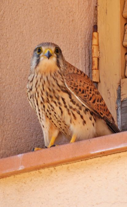 Common Kestrel  - Miquel Casas