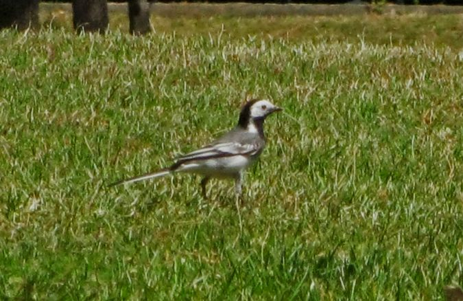 White Wagtail  - Miquel Casas