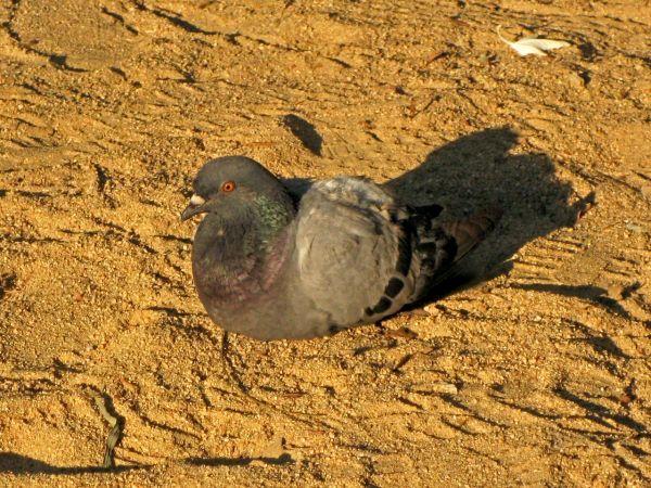 Feral Pigeon  - Miquel Casas