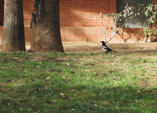 Eurasian Magpie  - Miquel Casas
