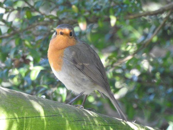 European Robin  - Jose Maria PaÑos Pascual